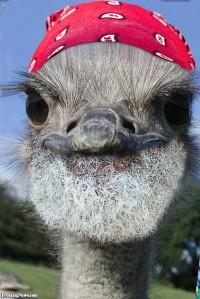 Bearded-Ostrich--90763