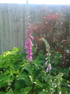 Some of the foxgloves in my back garden