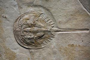 fossil-hardshellcrab